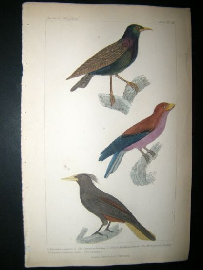 Cuvier C1835 Antique Hand Col Bird Print. Common Starling, Madagascar Roller, The Cassique, 36 | Albion Prints
